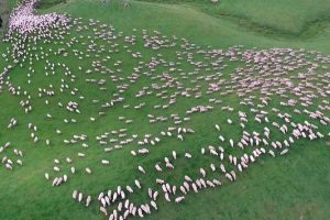 Αυτά τα προβατάκια θα σε υπνωτίσουν! (VIDEO)