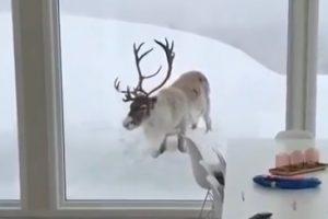 Ένας απρόσκλητος επισκέπτης στα χιόνια! (VIDEO)