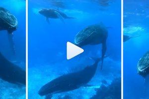 Σπάνια στιγμή σε βίντεο: μια μητέρα-φάλαινα τραγουδάει στο μωρό της! (VIDEO)